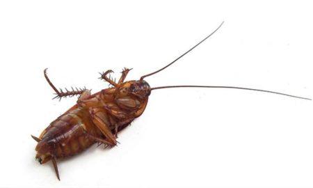 Чего боятся домашние тараканы