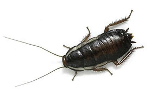 Особенности черных тараканов
