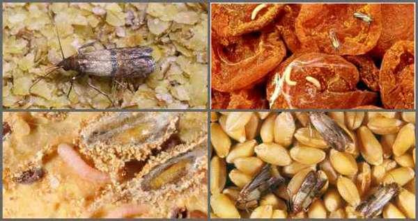 пищевая моль в крупах и сухофруктах