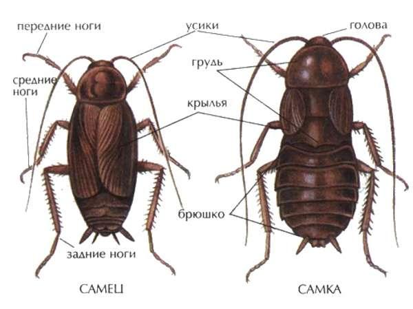 Домашние тараканы самец и самка
