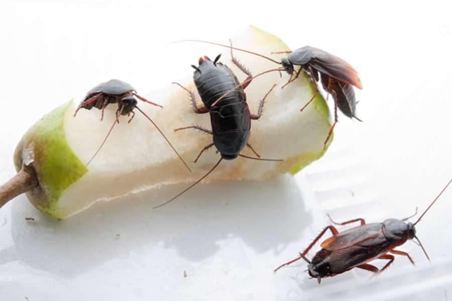 Что делать если очень много тараканов