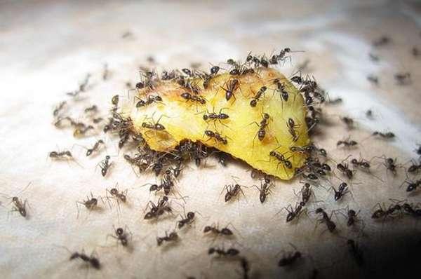 Как бороться с муравьями в квартире быстро и эффективно