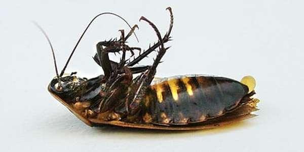 Как избавиться от канализационных тараканов