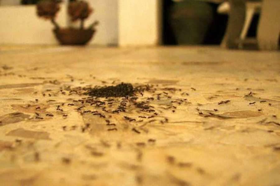 Как избавиться от красных муравьев в квартире