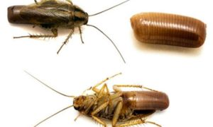 Как размножаются тараканы в квартире