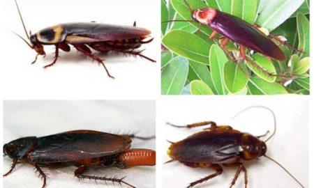 Какие виды тараканов живут в квартирах