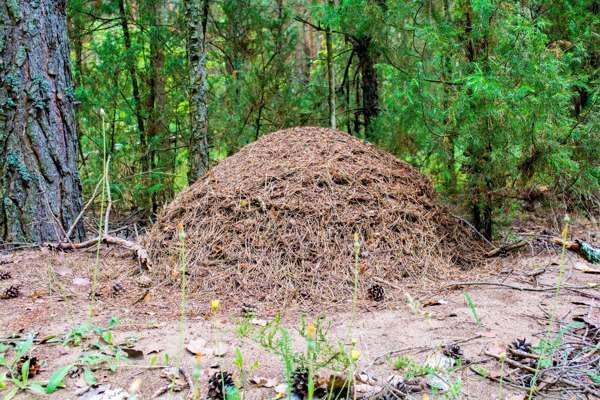 Какие муравьи встречаются в лес
