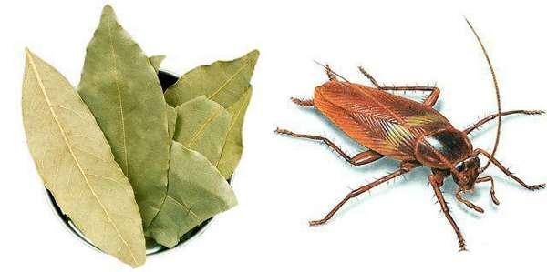 Лавровый лист против тараканов