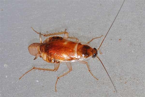 Чем отличается мебельный таракан от других