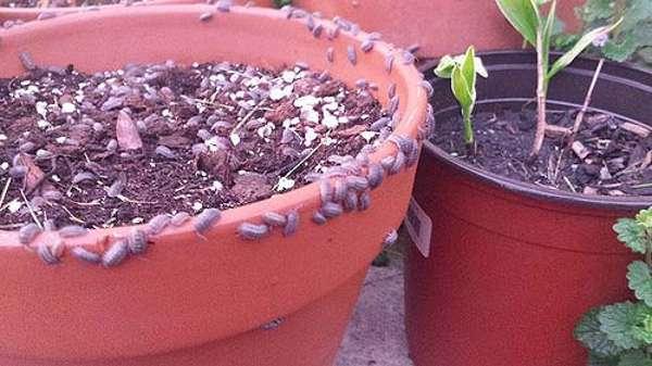 Мокрицы наносят вред домашним растениям