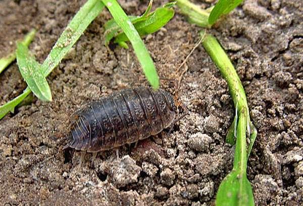 Причины появления мокриц в огороде и в домашних растениях