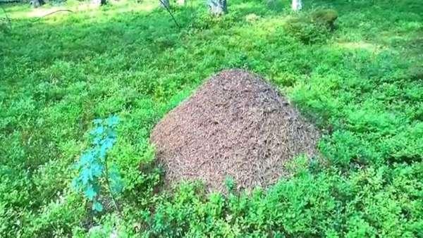 К чему снится муравейник в лесу