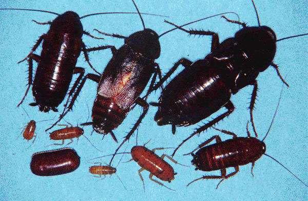 Один черный таракан может привести много других
