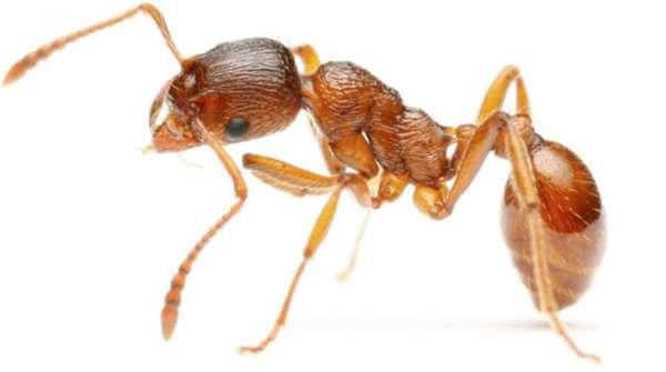 Рыжие муравьи в квартире: как бороться, средства, меры, чем травить