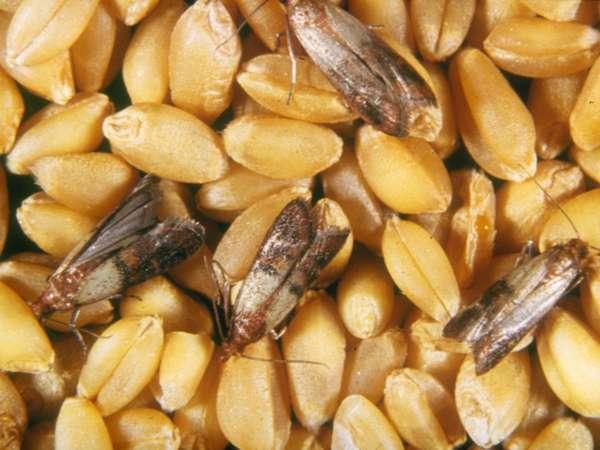 Пищевая моль может делать гнезда в орехах