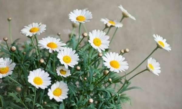 Запахи ромашки и других цветов против тараканов