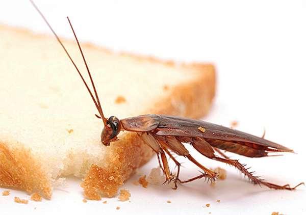 Тараканы оставляют на еде бактерии и споры грибков