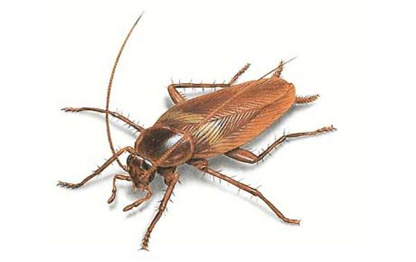 Особенности рыжих тараканов