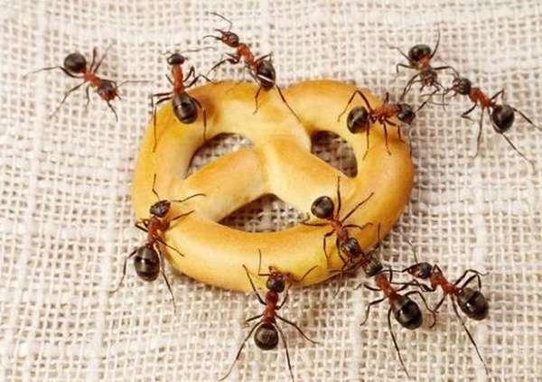 Соседство с муравьями причиняет сильный дискомфорт