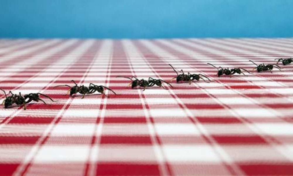 Чего боятся рыжие муравьи