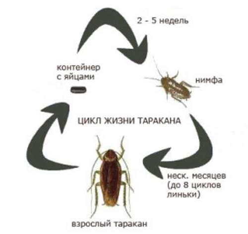 Цикл жизни таракана