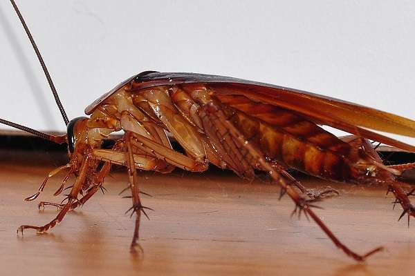 Рыжие тараканы умеют парить
