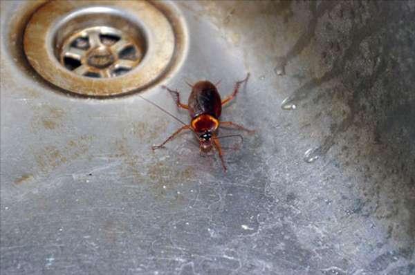 Тараканы проникают в дом по трубам