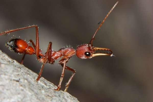 Уничтожаем красных муравьев