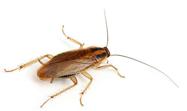 Всё о тараканах, живущих рядом с человеком