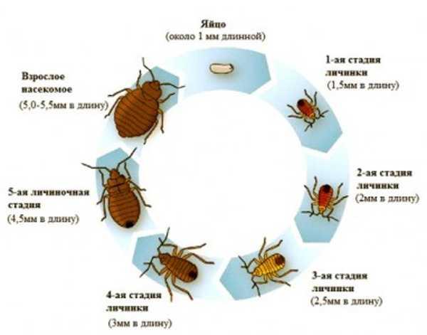 Жизненный цикл клопов: как размножаются паразиты