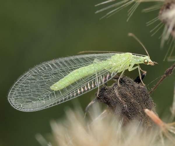 зеленая моль златоглазка