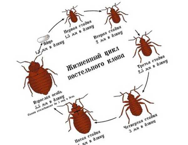 Жизненный цикл бельевых клопов (постельных)
