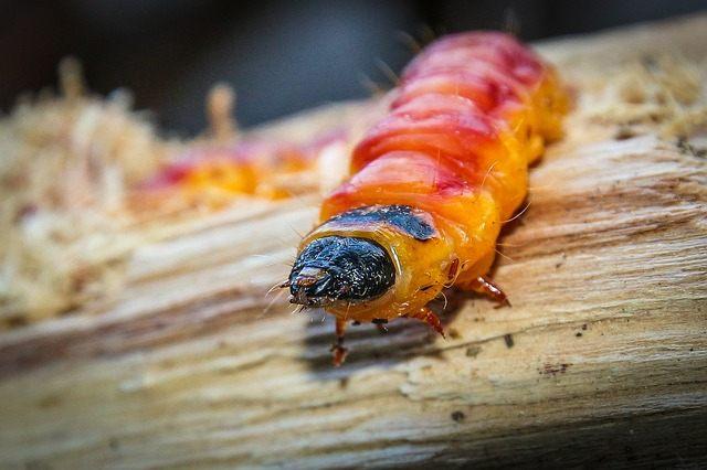 Личинка гусеница