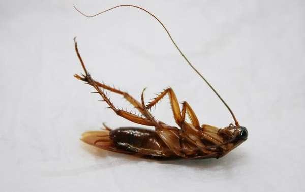 Как избавиться от маленьких тараканов самостоятельно