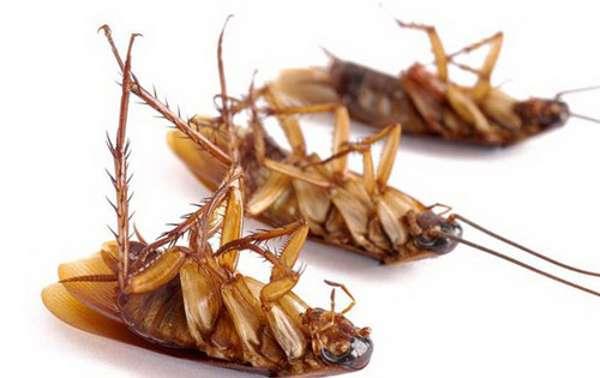 Выведение тараканов с помощью холода