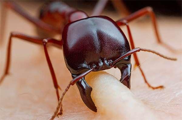 Укус огненного муравья