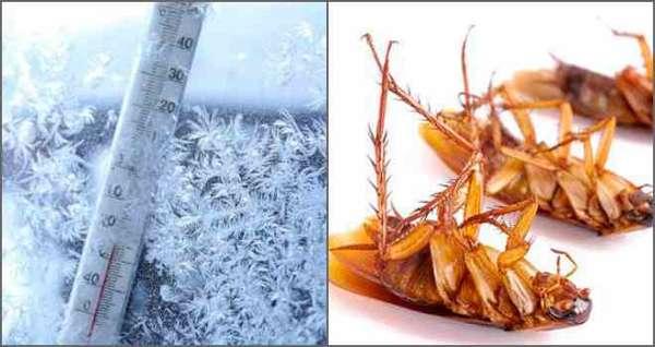 мороз поможет вывести тараканов